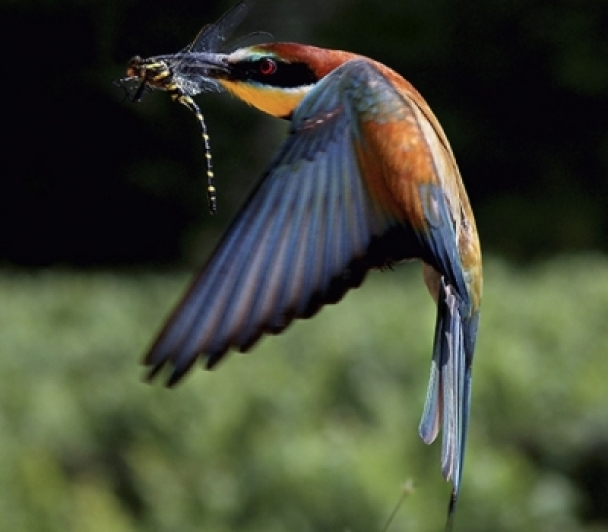 Les ailes de l'Afrique, découverte des Guêpiers d'Europe