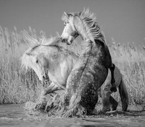 Camargue, les chevaux du delta, de Patrice AGUILAR