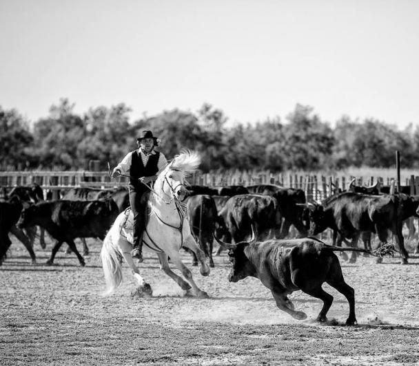 Le cheval Camargue : complice du gardian