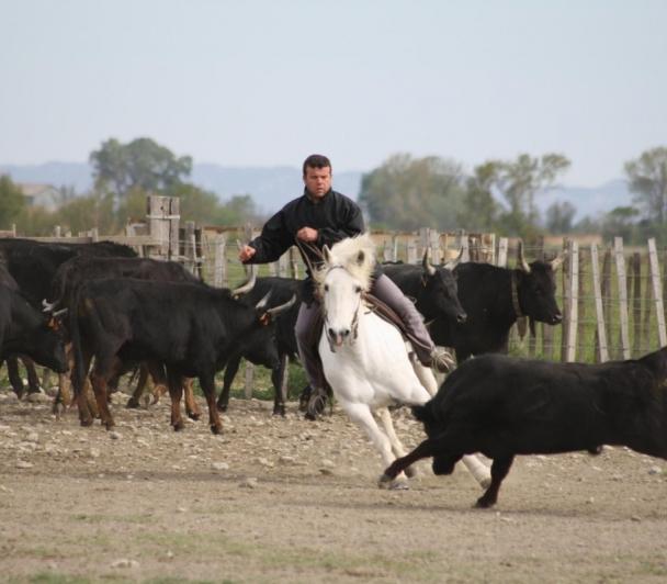 Le cheval Camargue: Outil de travail du gardian