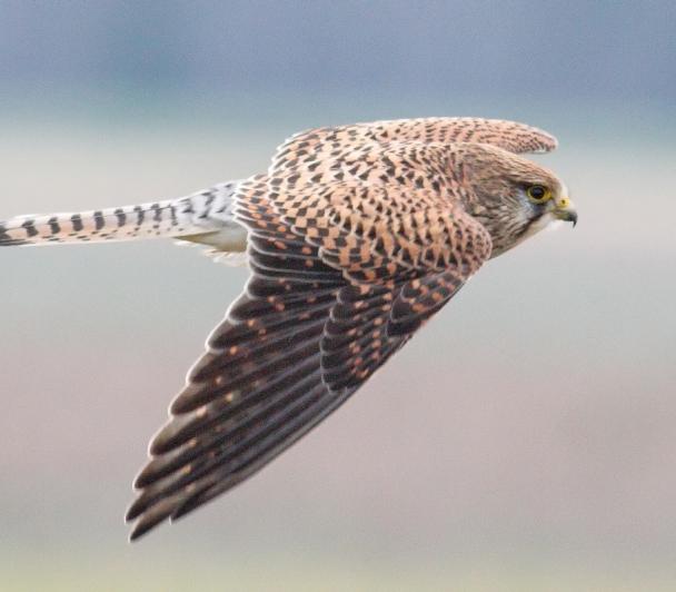 À la rencontre des faucons crécerellettes de Crau