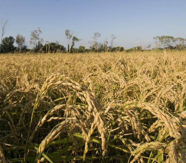 Le riz fait son foin… entre Crau et Camargue