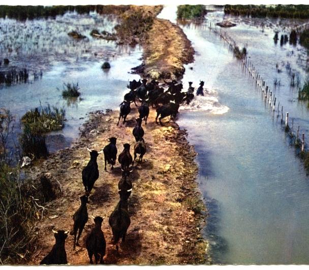 Le sauvage en Camargue, toute une histoire