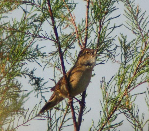 Les chants des oiseaux