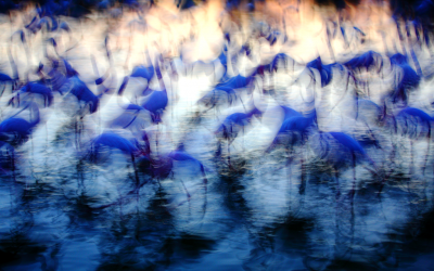 "Jonathan Lhoir - ""Variation sur le flamant rose"".2"