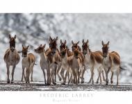 Larrey/Panthère des nieges
