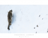 Larrey/ Panthère des neiges