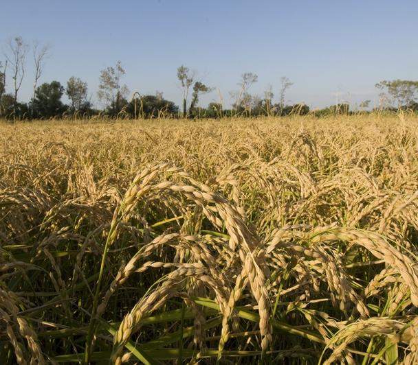 Dans les pas d'un riziculteur