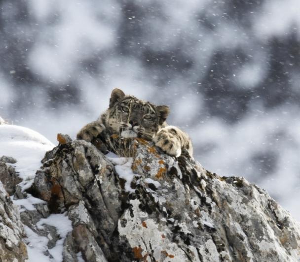 En harmonie avec la Panthère des neiges de Frederic LARREY