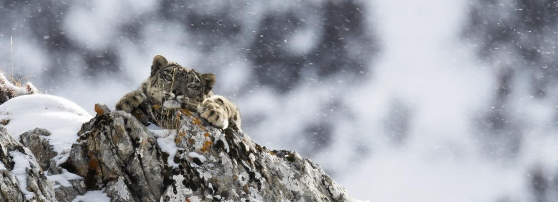Tibet, les dernières panthères des neiges de Frederic LARREY
